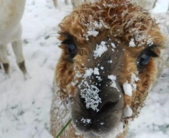 alpaca care throughout the seasons