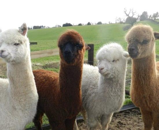 the economics of alpaca care