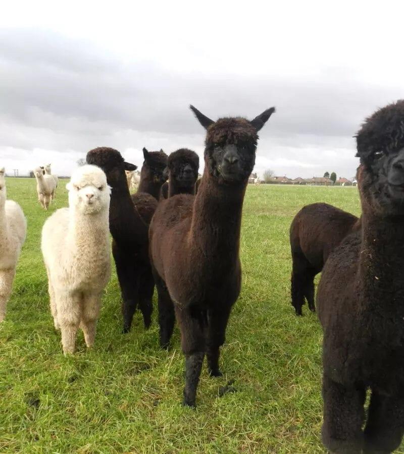 alpaca breeders