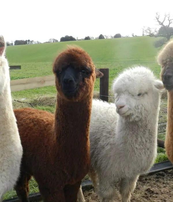 fibre producing alpacas for sale