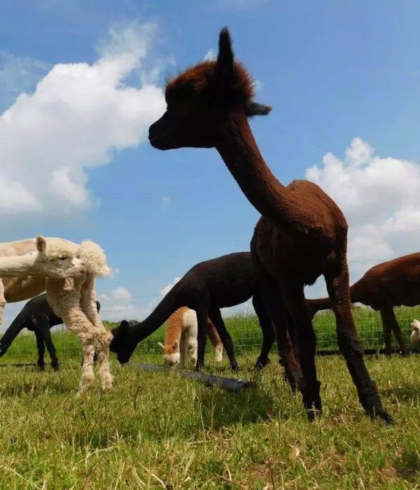 gb alpaca premium alpacas