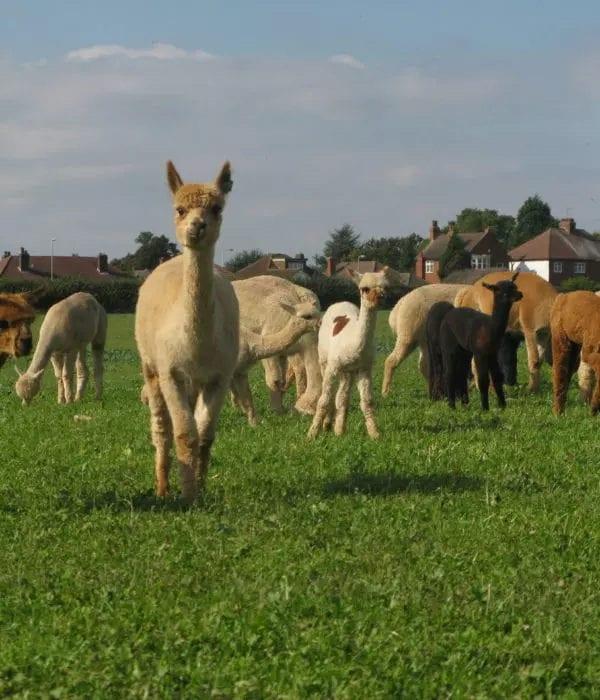 stud-alpacas-for-sale
