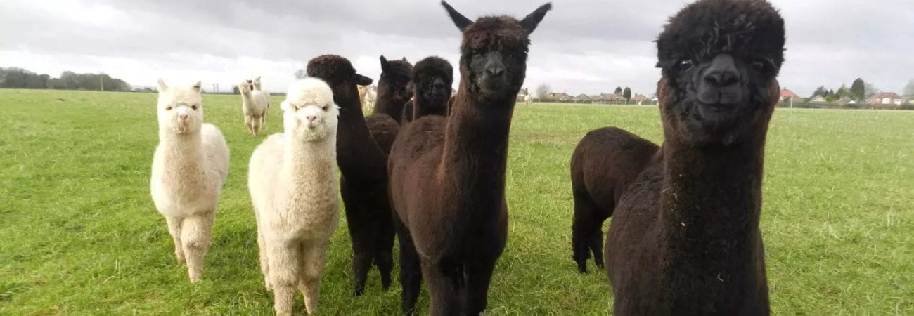 positive alpaca traits